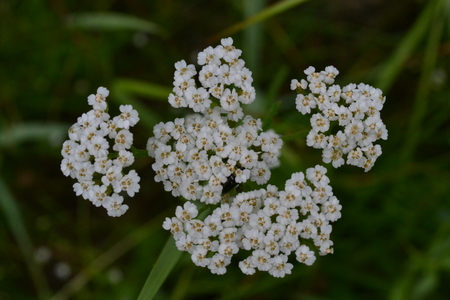 Small white flowers on a background of dark green grass in a park in summer