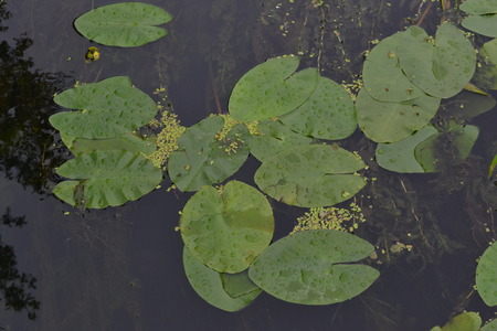 Green leaves of water lilies in a river in the early morning after a rain