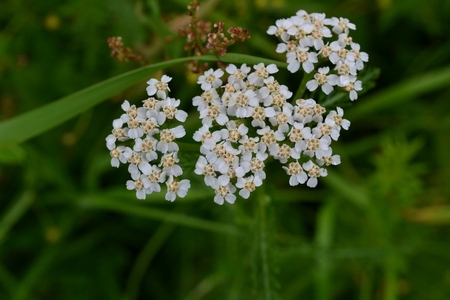 White shallow field flowers in inflorescences on a background of green grass in the early morning in the park Reklamní fotografie
