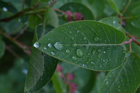 Large drops of rain on green leaves in the early morning in the park