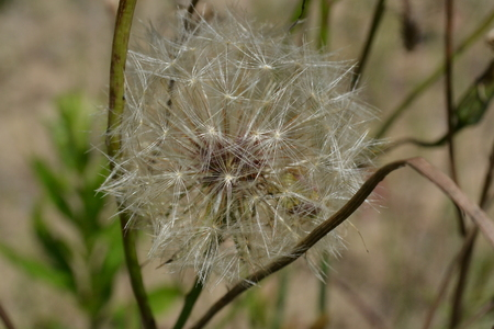 Seeds of a field flower in the form of a ball against a background of green grass Reklamní fotografie