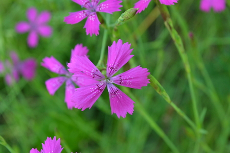 Purple flowers of a field carnation on a background of green grass in the early morning in the park Reklamní fotografie