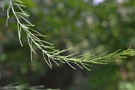 緑の木々 の背景に蜘蛛の巣を持つ装飾的な草の枝は、太陽の光に照らされました。 写真素材