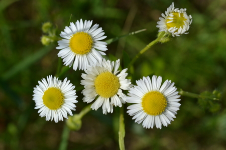 Small white flowers on a background of green grass on a meadow in the early morning