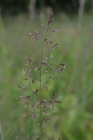 Stalk of grass against the background of a green meadow in the summer