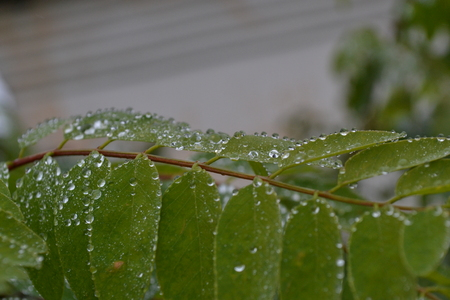 small clear drops of rain covered with green leaves on a branch in late autumn