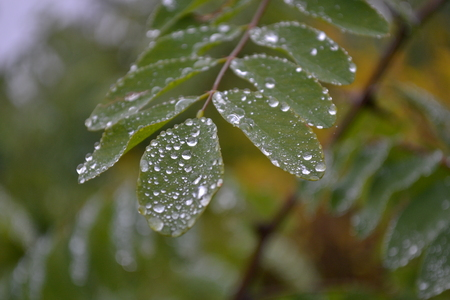 small green leaves covered with transparent rain drops in late autumn