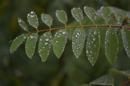 large drops of rain on the green leaves Reklamní fotografie