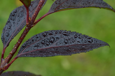 a wet leaf of a burgundy color is covered with green leaves in the background Reklamní fotografie