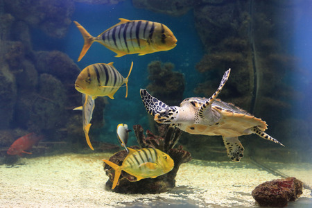 accompanied: in the aquarium, zoo floats a large sea turtle accompanied by other inhabitants