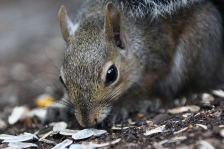 gray squirrel photo