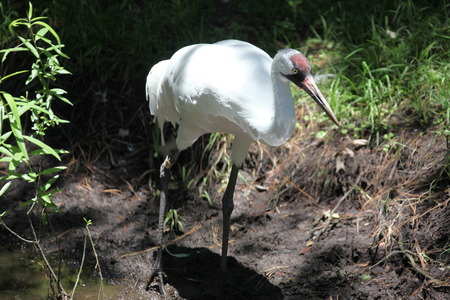 crane searching for food in a pond photo