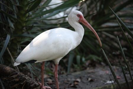 ibis: white ibis