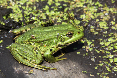 close up view of a frog in marsh photo