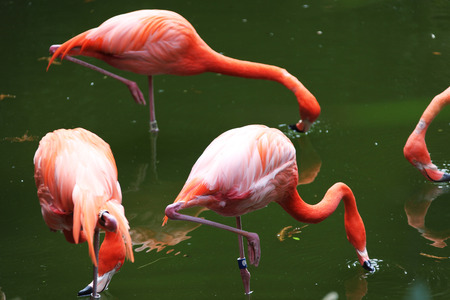pinkish plumage flamingo searching for food in a pond