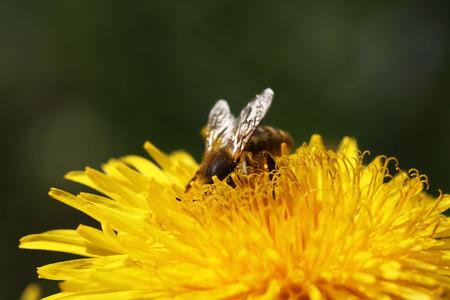 honeybee: close view of a honeybee seating on a dandelion Stock Photo