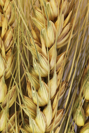 close view of the ears of the wheat photo