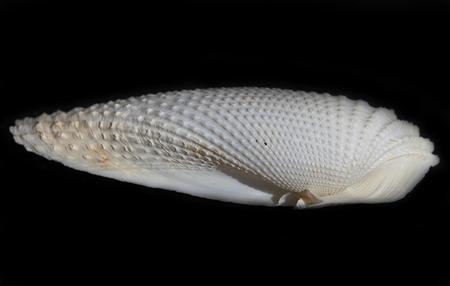 a sea shell on the black background Reklamní fotografie