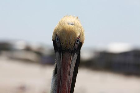 atlantic: pelicans on Atlantic coast of Florida