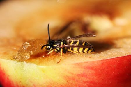wasp: Avispa Foto de archivo