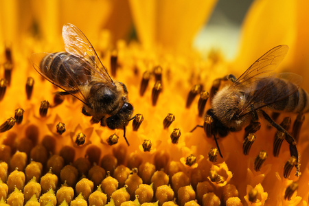 close view of honey bee on sunflower