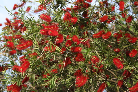 callistemon: Callistemon blooming Stock Photo