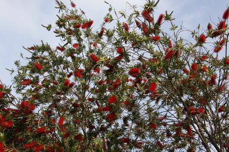 Callistemon blooming Reklamní fotografie
