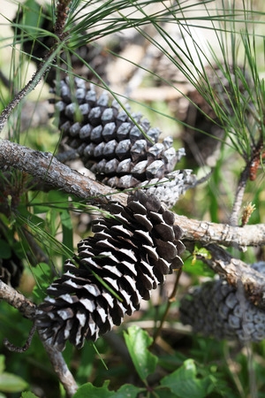 pine trees Reklamní fotografie