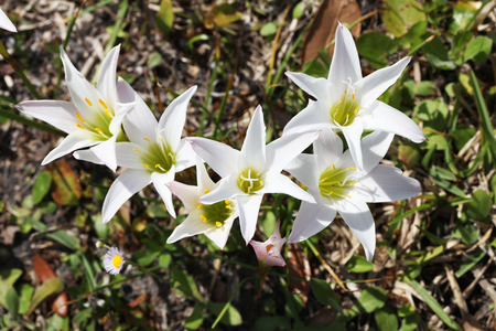 lily: White lilies