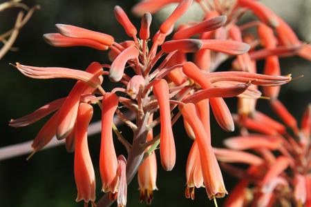 flowering aloe: aloe Stock Photo