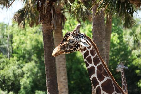 ungulate: Giraffe