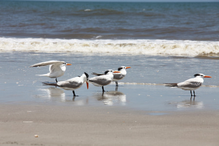 royal tern on Atlantic coast of Florida