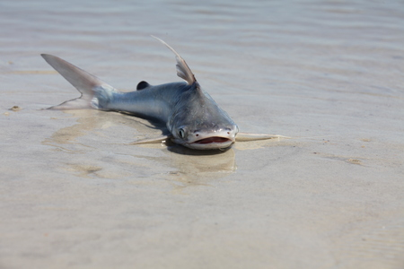 catfish in a shallow water