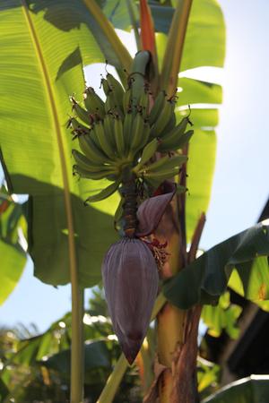 banana plant Imagens