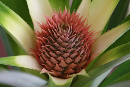 blooming pineapple plant Imagens