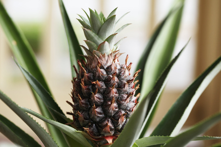 pineapple plant with a fruit Imagens