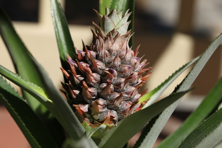 pineapple plant with a fruit Stock Photo