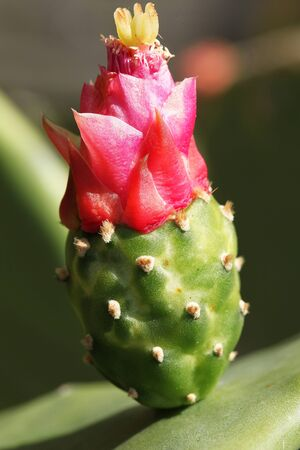 Close view of blooming Mexican cactus Opuntia ficus-indica Stock Photo - 148903587
