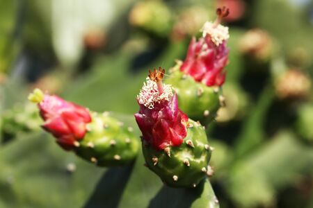 Close view of blooming Mexican cactus Opuntia ficus-indica