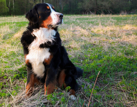 Very soon the Year of the Dog will come. Bernese Mountain Dog on the walk in the Park. Reklamní fotografie