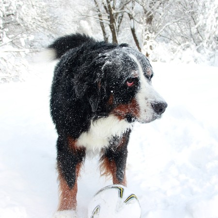 Bernese Mountain Dog walking on the forest paths. Bernese Mountain Dog on the walk in the Park. Portrait of a Bernese mountain dog. Really Beautiful Bernese Mountain Dog. Great dog - Bernese mountain Dog!