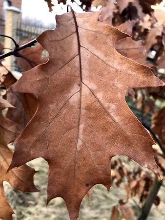 Autumn oak leaf on tree