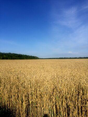 wheat field under blue sky Stockfoto