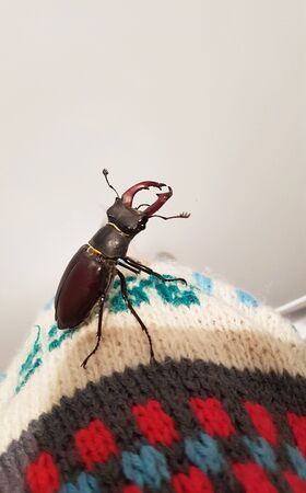 The male of a rare stag beetle Ceruchus chrysomelinus, occurring in European virgin and old growth forests. Stock Photo