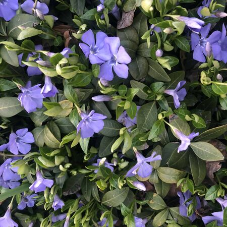 Beautiful purple flowers of vinca on background of green leaves.