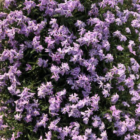 purple phlox subulata flowers background Stockfoto