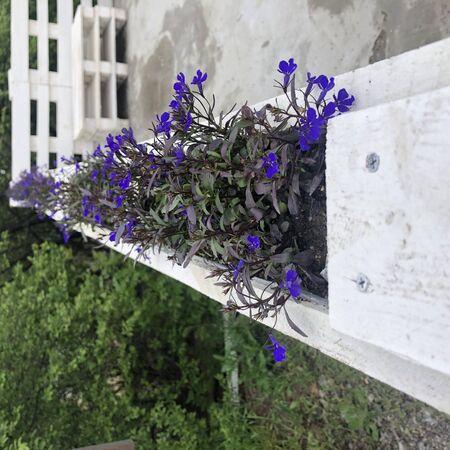 Purple flowers of Dalmatian bellflower blooming on blurred background