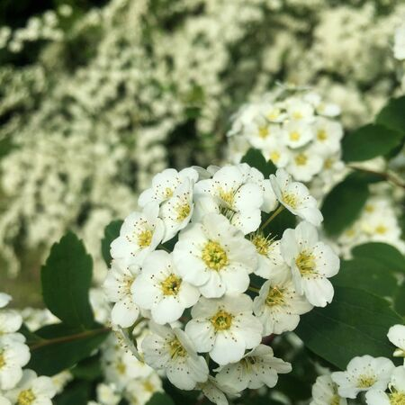 Rosa sempervirens , beautiful white flowers of a green bush in a park in summer Stockfoto