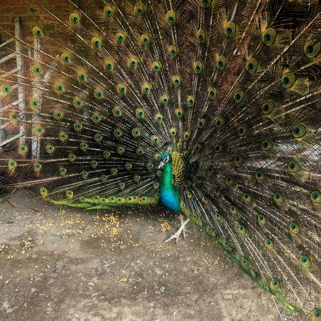 fun Indian Male Peacock with loose tail Stockfoto