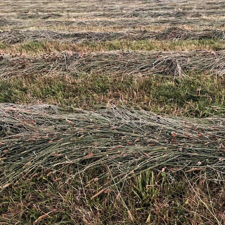 ield of dry mowed grass that lies mowing Stockfoto